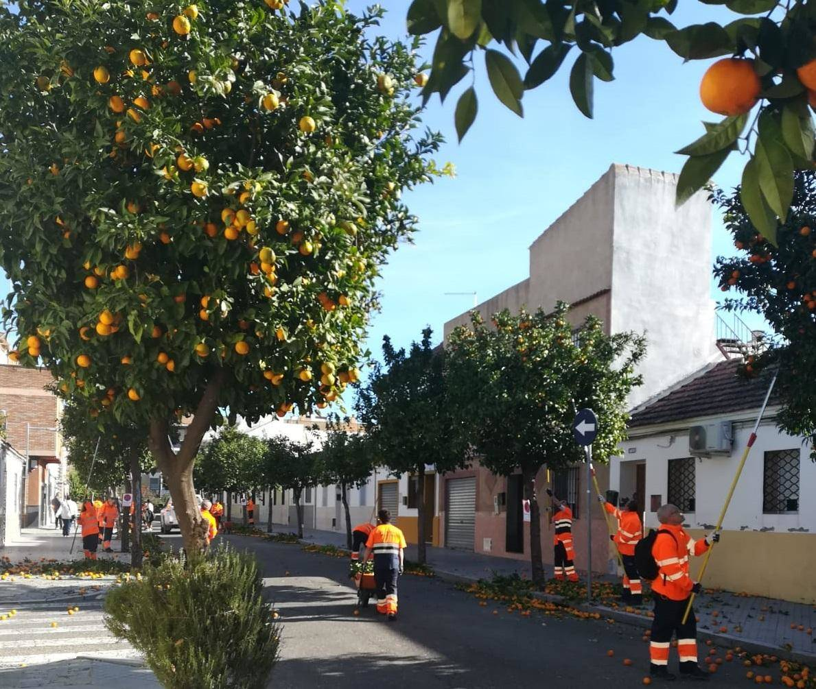 Sadeco inicia la recogida de la naranja en los más de 25.000 árboles de la ciudad