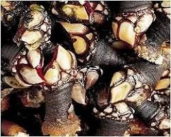 Percebes Gallecs escaldats al moment