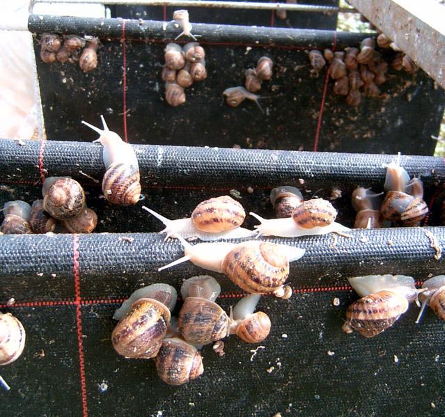 Requisits legals i higiènics per criar caragols, a la jornada d'Helicicultura de l'Aplec
