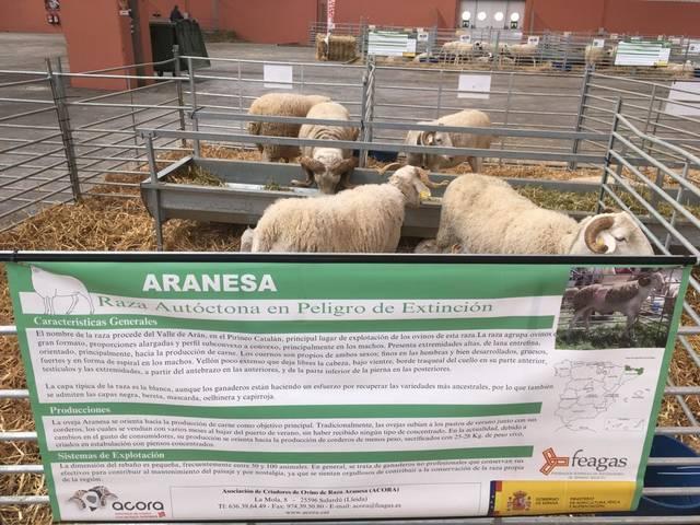 Era oelha de raça aranesa, present en FIGAN Hèira Internacionau entara Produccion Animau