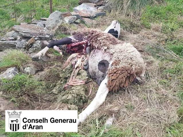 Goiat ataque ua oelha e ua cordera en Bausen