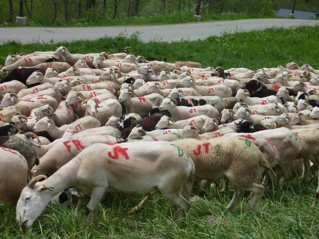 Inici deth desplaçament des ramats de oelhes e crabes as agropacions de Casau e Beret