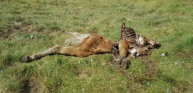 Preocupacion deuant deth quatau atac de Cachou a bestiar equin en dues setmanes
