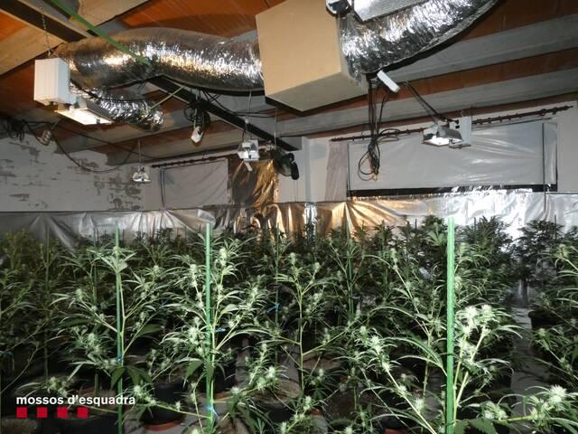 Detenen una dona per cultivar marihuana en una casa de Fonolleres