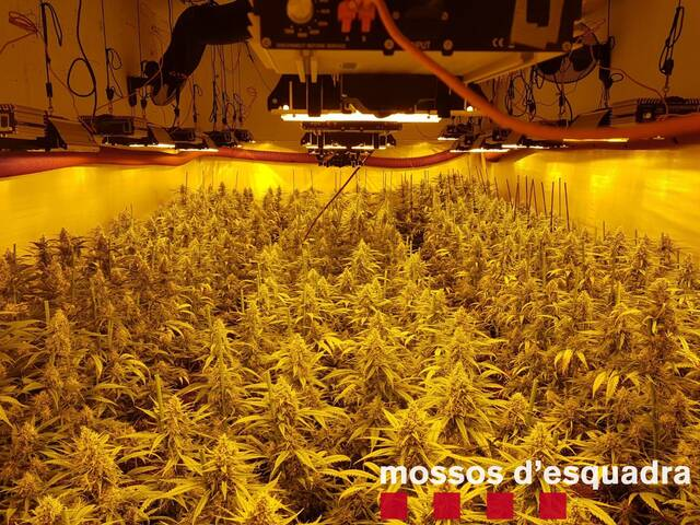 Detinguts per cultivar més de 1.500 plantes de marihuana a Guissona