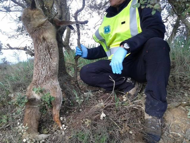 Intervenen 50 paranys per caçar furtivament a la Segarra