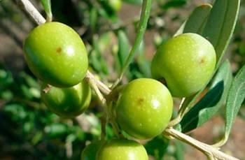 Agricultura convoca els ajuts al sector agrícola en matèria de sanitat vegetal