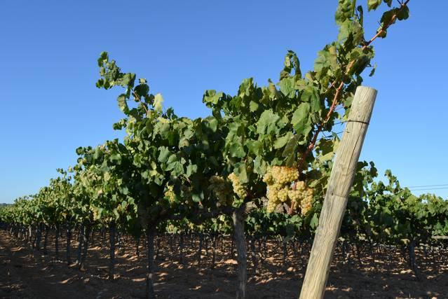 Convocades les eleccions als Consells Reguladors de les DO del vi de Catalunya