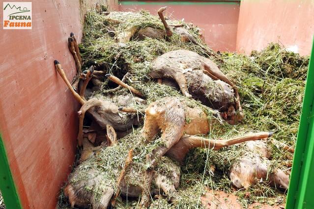 Denuncien l'aparició de vint cabirols morts al costat del canal a les Borges