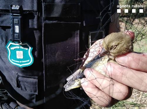 Els Agents Rurals enxampen una persona que capturava aus amb mètodes de caça prohibits