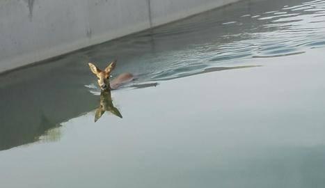 Els Agents Rurals rescaten un cabirol que havia caigut en un sifó del canal Segarra-Garrigues