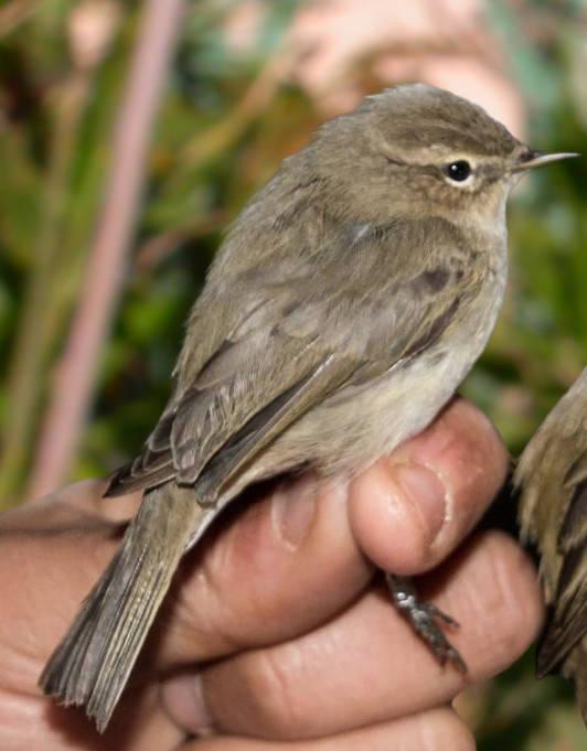 Identificat un mosquiter siberià a l'Estany d'Ivars i Vila-Sana