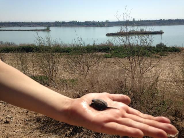 Troben una cria de tortuga d'estany a l'Estany d'Ivars i Vila-sana, la primera en aquest espai
