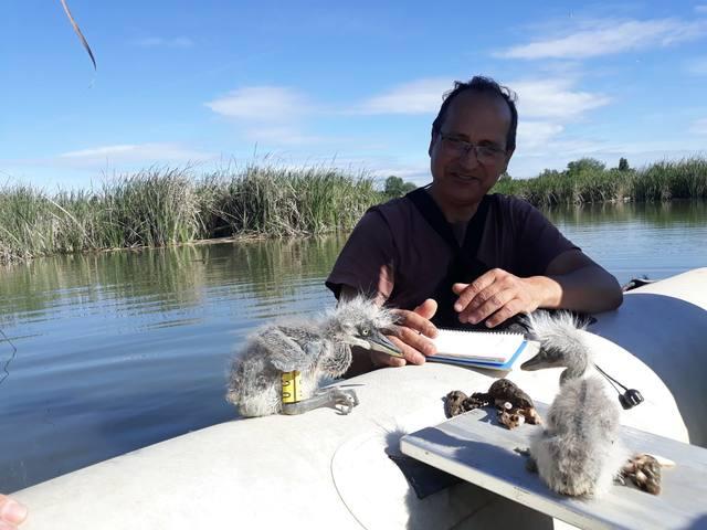 L'estany d'Ivars i Vila-sana acull, per primera vegada, un projecte de monitoratge de Bernat pescaire