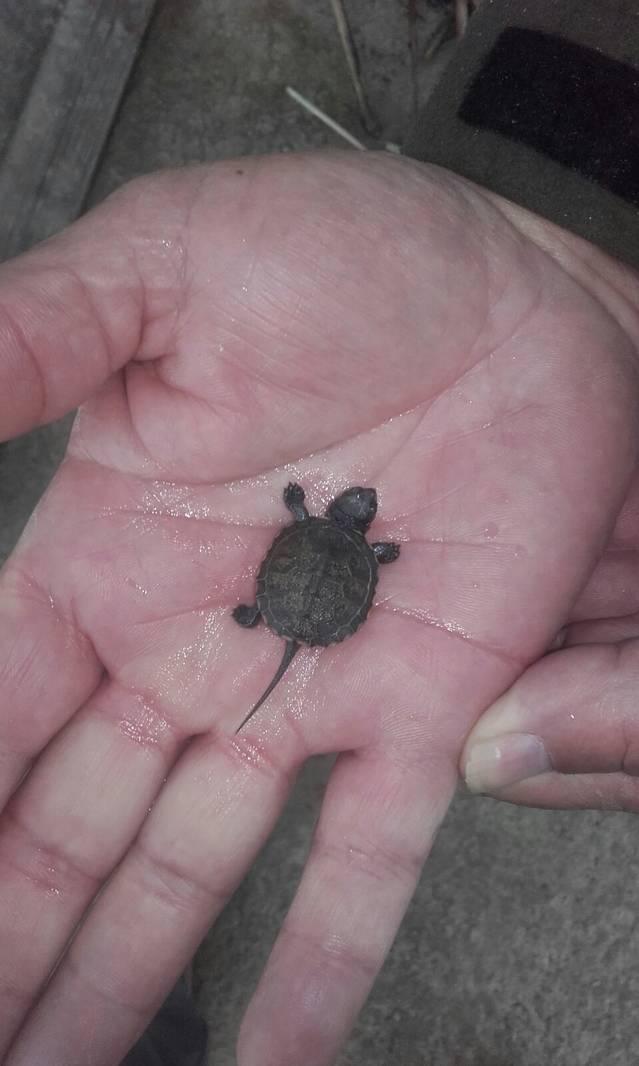 Troben una segona cria de tortuga a l'Estany d'Ivars i Vila-sana