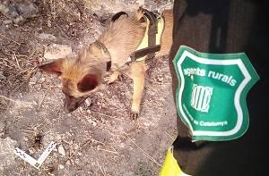 Agents Rurals denuncien una persona que utilitzava verins a les Valls del Sió-LLobregós