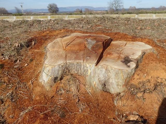 Agramunt estudia portar al contenciós la Casa Canal per la tala d'arbres