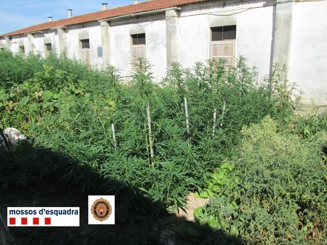 Els Mossos d'Esquadra desmantellen una plantació de marihuana a Agramunt