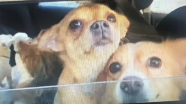 Rescaten més de 20 gossos d'un habitatge de Claravalls
