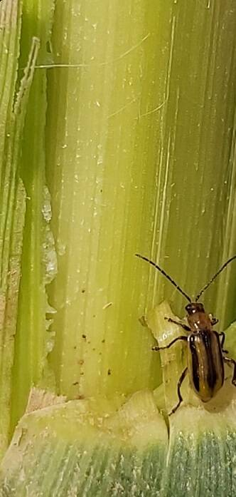 Acció Climàtica alerta de la detecció d'una plaga que afecta el blat de moro
