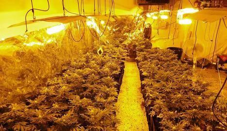 Detingut per conrear 184 plantes de marihuana en un habitatge de Balaguer