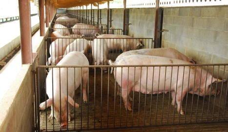 El sector del porcí, en alerta per evitar l'arribada de malalties