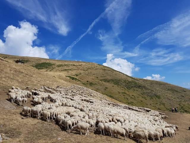 Les vendes de carn d'oví cauen més d'un 90% per la situació d'alerta sanitària per la Covid-19