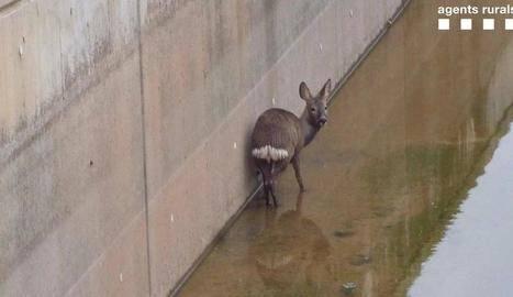 Rescaten un cabirol que havia caigut al canal a Algerri