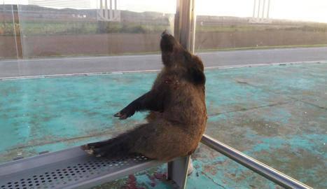 Troben un senglar mort assegut en una parada d'autocar a Bellcaire