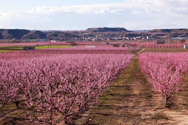 Aitona preveu recollir 130.000 tones de préssecs aquesta campanya