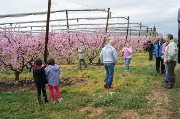 Alcarràs programa una sortida per descobrir els paisatges dels arbres fruiters florits
