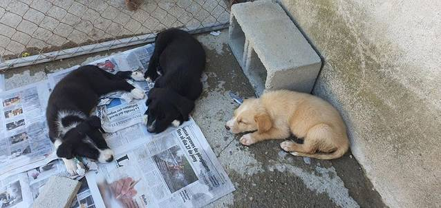 Abandonats tres gossets a Almenar, en un forat perquè no en puguin sortir