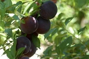 El Departament d'Agricultura rep 600 peticions de fructicultors interessats en el Pla d'arrencada d'arbres de fruita de pinyol