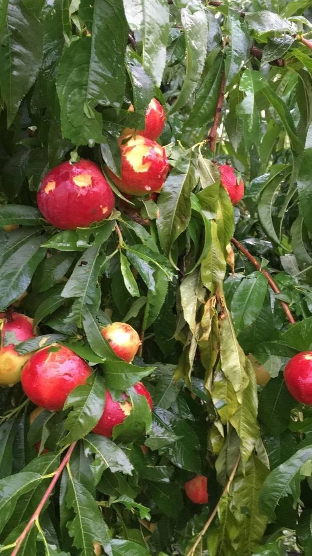 El segon granís en 13 dies s'acarnissa en fruiters i cereal del Segrià