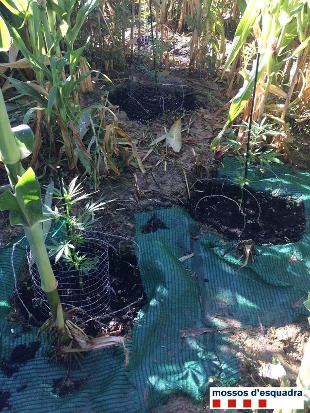 Els Mossos d'Esquadra detenen dues persones i desmantellen dues plantacions de marihuana en zones rurals d'Agramunt i Maials