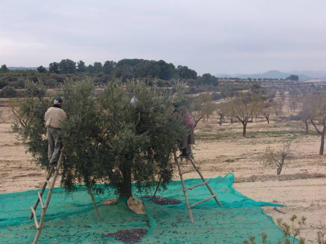 Les famílies productores de l'Oli Baró de Maials fan una crida a consumir productes de proximitat