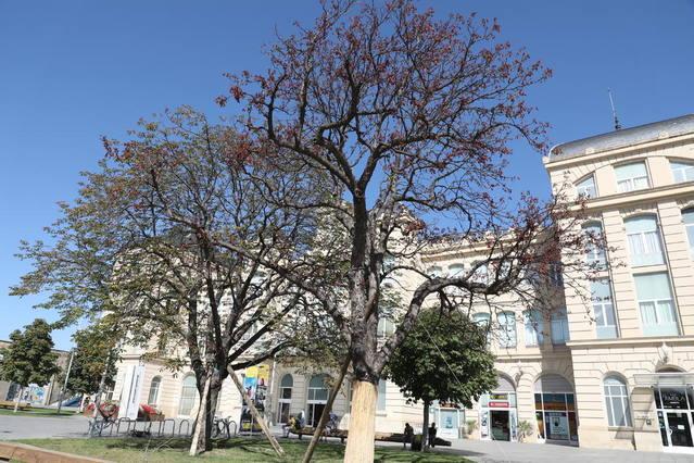 Mor un dels arbres trasplantats davant l'estació de trens de Lleida